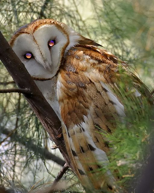 Beautiful! I agree this owl is beautiful. I love the eyes.  The Incensewoman