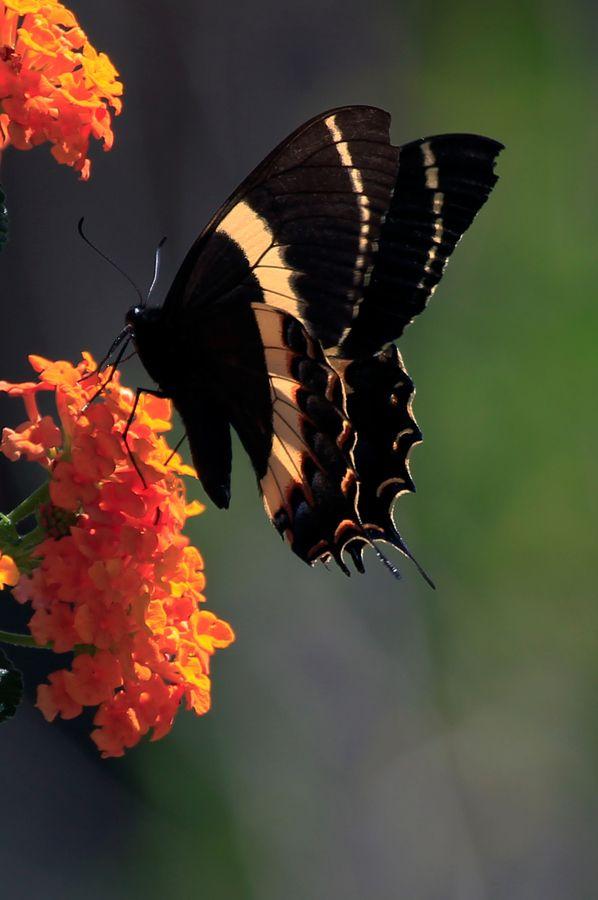 Butterfy by Cristobal Garciaferro Rubio, via 500px