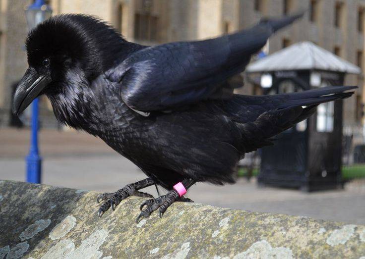 Merlin, one of the Tower of London ravens. (Actually a female, but the name stuck!)