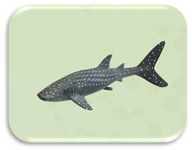 Com o TUBARÃO-BALEIA. Descobre: -.Nome científico: Rhincodon typus - Alimentação: Carnívoro - Distribuição: Todos os mares tropicais do mundo  - Habitat: Águas costeiras de regiões tropicais e lagunas de atóis de corais e recifes  - Estatuto de conservação: Ameaçado  Sabias que...: este tubarão é o maior peixe que se conhece? O maior tubarão baleia encontrado media mais de 20 metros de comprimento!