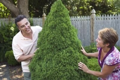 How to Trim a Eugenia Topiary Spiral