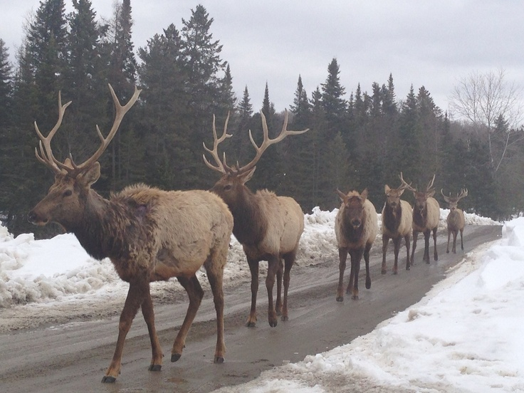 Elk and a deer traveling by highway in Canada