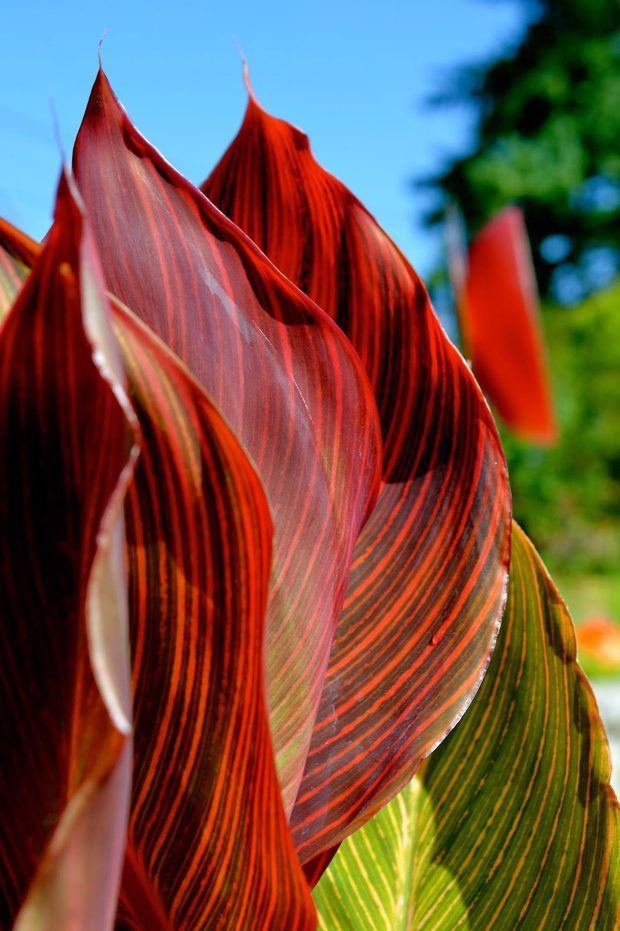 545 Best Images About Bioswales Stormwater On Pinterest: 545 Best Images About Plants CANNAS On Pinterest