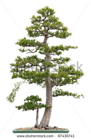 Standard Large? Use Smaller tree as standard reference for size? - Chinese Elm