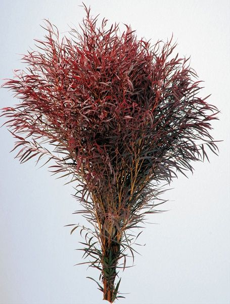 Agonis Foliage - California Foliages - Greens, Foliages and Branches - Flowers by category | Sierra Flower Finder