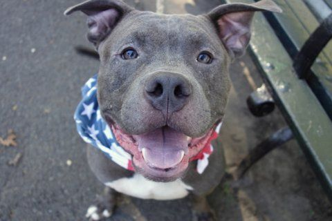 """ALPO - A1086337 - - Manhattan  Please Share:TO BE DESTROYED 09/03/16: A volunteer writes: Are you ready to snuggle with a big grey meatball? Come meet Alpo!! All tail waggy and up front in his kennel with a clear message of 'hey, it's me, let's meet and go out""""! With that ear to ear grin the pitties are known for, he's all snuggle and fun with a tail that never stops wagging. He has the cutest wiggle when he walks and I found myself circling th"""