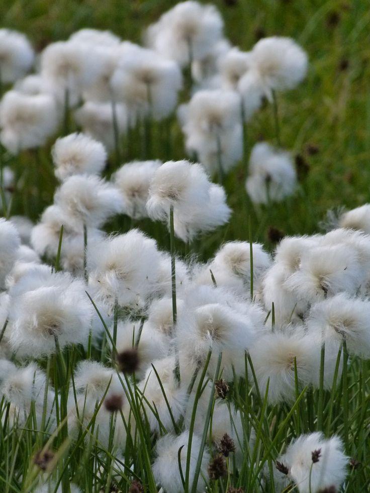 265 best images about fleurs des alpes on pinterest. Black Bedroom Furniture Sets. Home Design Ideas