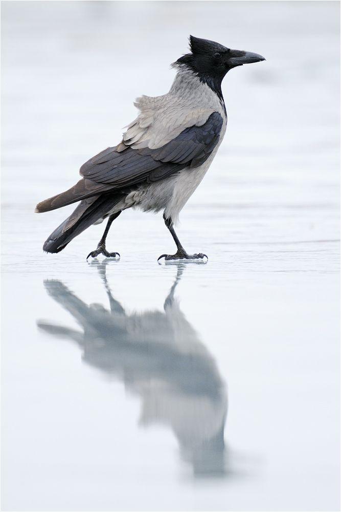 Iceskater ( Hooded Crow ) -  © von P. Lindel