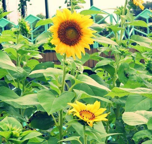 Bunga Matahari Lokal