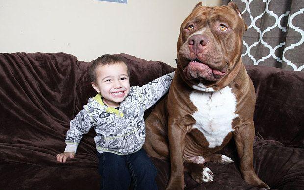 Super size pitbull Hulk with toddler Jordan Grennan
