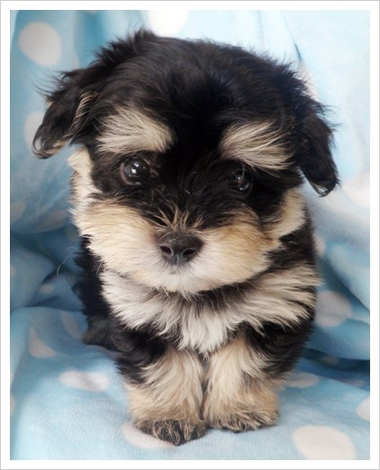 488 best images about Teddy bear dogs on Pinterest ...