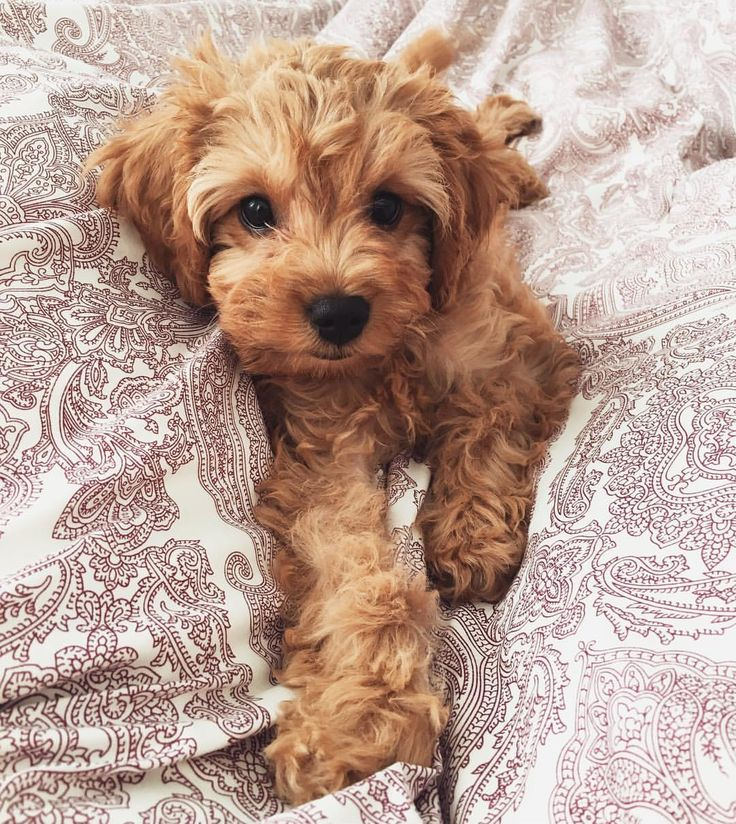 378 Best Images About Cockapoo