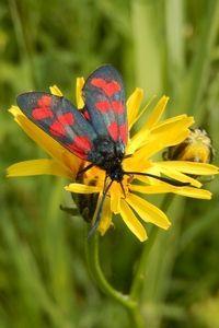 Sint-jansvlinder: zwart met rode stippen (foto: Kars Veling)