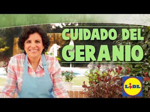 Cuidado Del Geranio - Lidl Jardin - YouTube