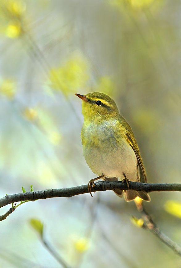 Phylloscopus sibilatrix - świstunka leśna - Wood Warbler