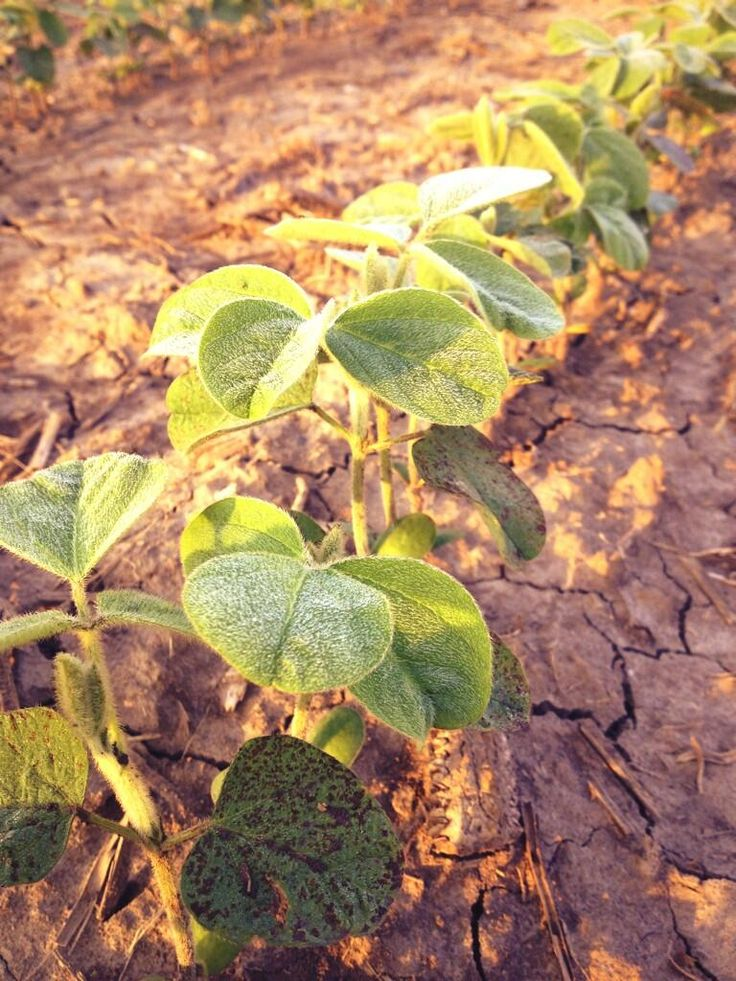 Soaking up the sunshine in #CKOnt early this morning. @DEKALB_Canada soybeans. #OntAg pic.twitter.com/u6eGIt7UIF