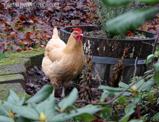Backyard Chickens In Winter : Raising chickens in the rainy NW winter  For the ladies  Pinterest