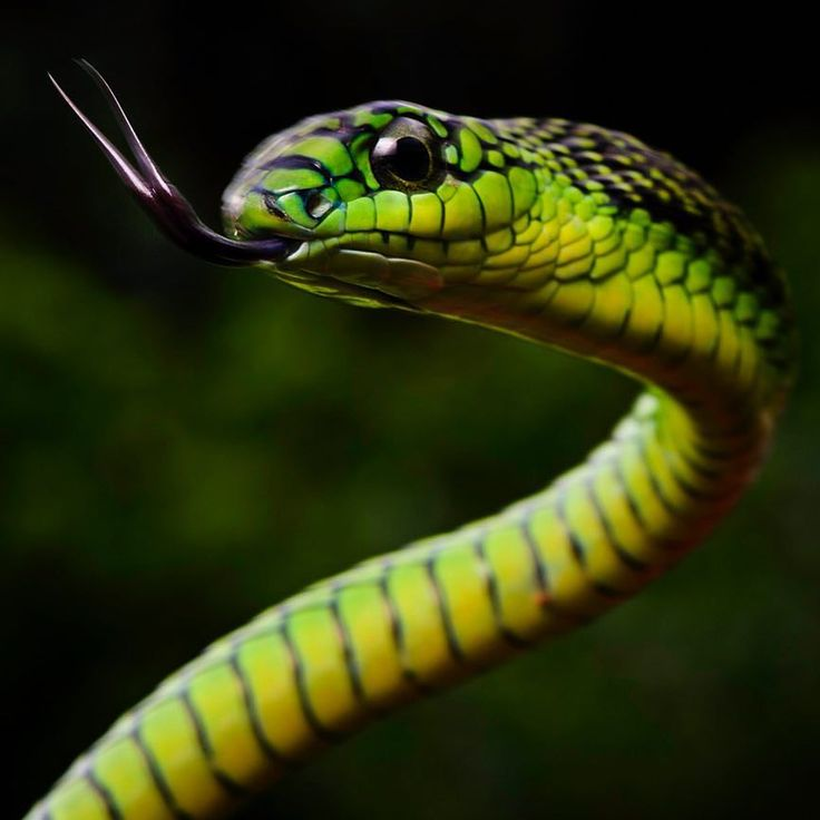Photo by @mattiasklumofficial  I photographed this magnificent Boomslang on assignment in Cameroon for @natgeo. Boomslangs have exceptionally large eyes and excellent eyesight and often move their heads from side to side to get a better view of what's in front of them. Please go to @mattiasklumofficial to see one of nature's coolest patterns! The venom of the boomslang is primarily a hemotoxin;  it disables the blood clotting process and the victim may well die as a result of internal and…