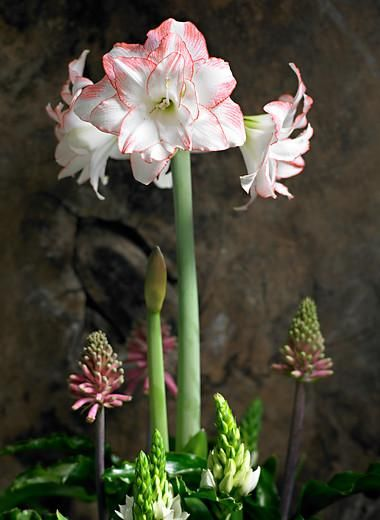 Amaryllis Aphrodite | Double Amaryllis Bulbs | Double Flowering Amaryllis – Easy To Grow Bulbs