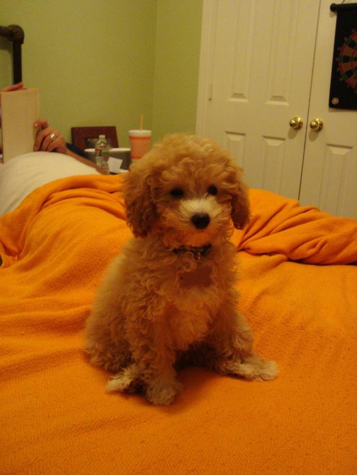Cavapoo puppy Cavapoo puppies, Cavapoo, Cute animals