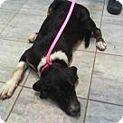 Grand Prairie, TX - Border Collie/Bernese Mountain Dog Mix. Meet DALTON, a for adoption. http://www.adoptapet.com/pet/17003667-grand-prairie-texas-border-collie-mix
