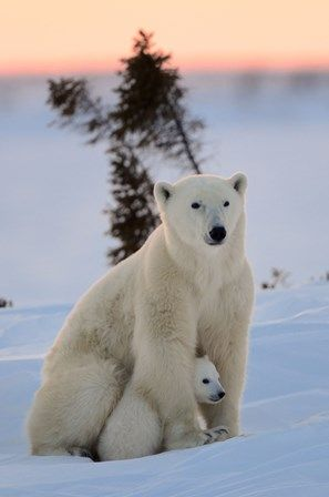 Polar Bear - E. Baccega - YOONIQ Images - Stock photos, Illustrations & Video footage