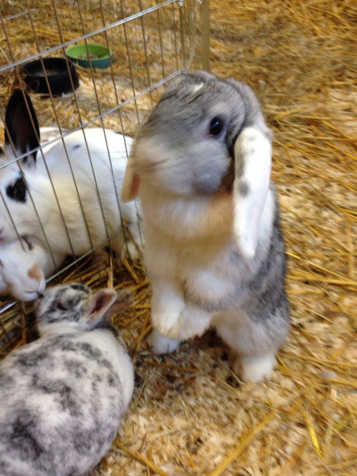 19 best konijn images on Pinterest | Hasen, Kaninchen und Zwergkaninchen