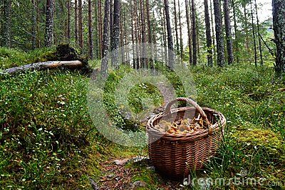 Mushroom basket in forest full of great Food ingrediens Trees in background forest natural habitat