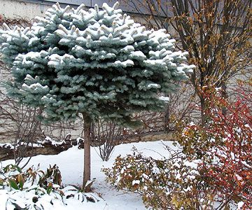 Evergreens Reign Supreme  Evergreens are the backbone of any cold-climate winter garden. Evergreen trees and shrubs, like the compact Colorado spruce shown here (grown as a standard), contribute color, texture, and form regardless of snow cover.