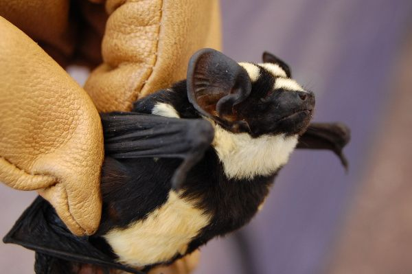 "A new genus of bat has been discovered in South Sudan, the world's newest country. The strikingly striped bat has been placed into the genus Niumbaha, which means ""rare"" or ""unusual"" in the Zande language of the region. The researchers carefully studied the specimen they caught and compared it with other known bats. ""Literally everything you look at doesn't fit"" the previous species designation, DeAnn Reeder said in a prepared statement. ""It's so unique that we need to create a new genus."""
