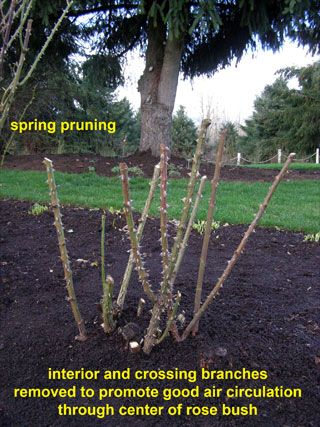 Fall Pruning: thin and remove crossing canes to prevent wind damage. Reduce overall height by 1/3 to prevent root lift. Clean debris from base of plant to reduce disease.