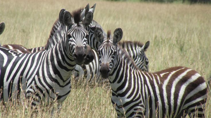 Zebra-Are they white with black stripes or black with white stripes