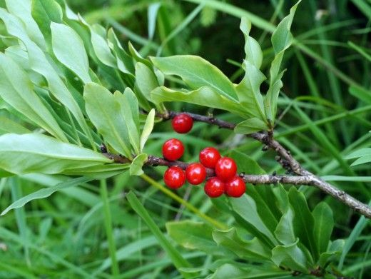 Ядовитые растения вокруг нас. Описания, названия и фото  Среди сотен тысяч известных на Земле растений около десяти тысяч видов считаются ядовитыми для человека. Даже в самой привычном уголке природы можно найти растения, которые могут представлять опасность.