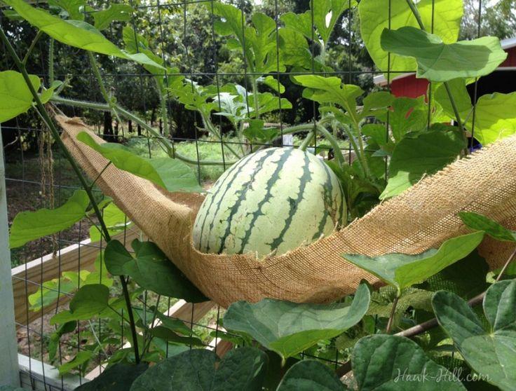 Saját görögdinnyét termeszthetsz szuperkicsi helyen | Hobbikert.hu