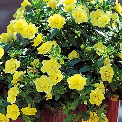 375 best images about flower inspiration9 on pinterest - Calibrachoa trixi ...