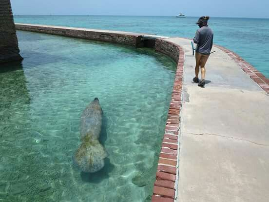 Manatee swimming at Dry Tortugas National Park