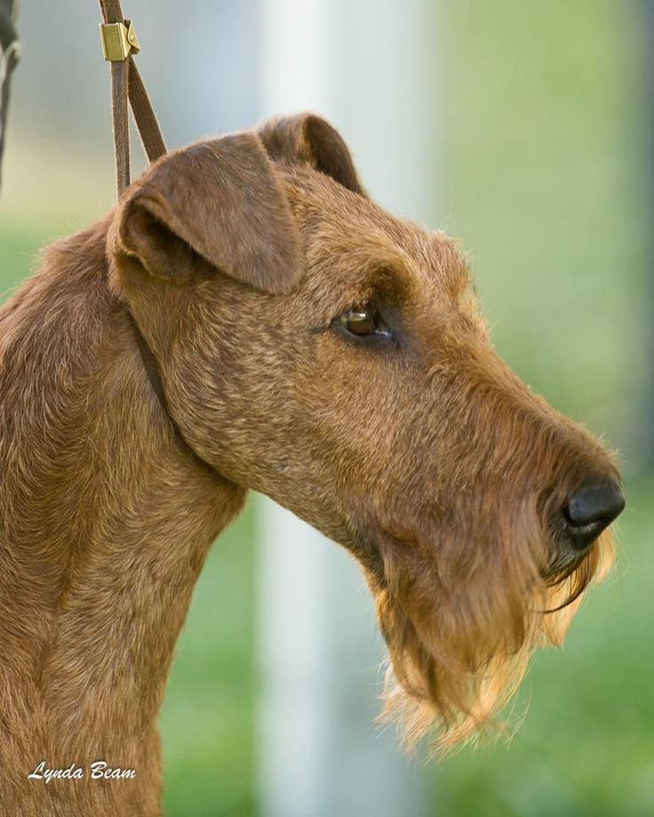 Irish Terrier - photo by Lynda Beam