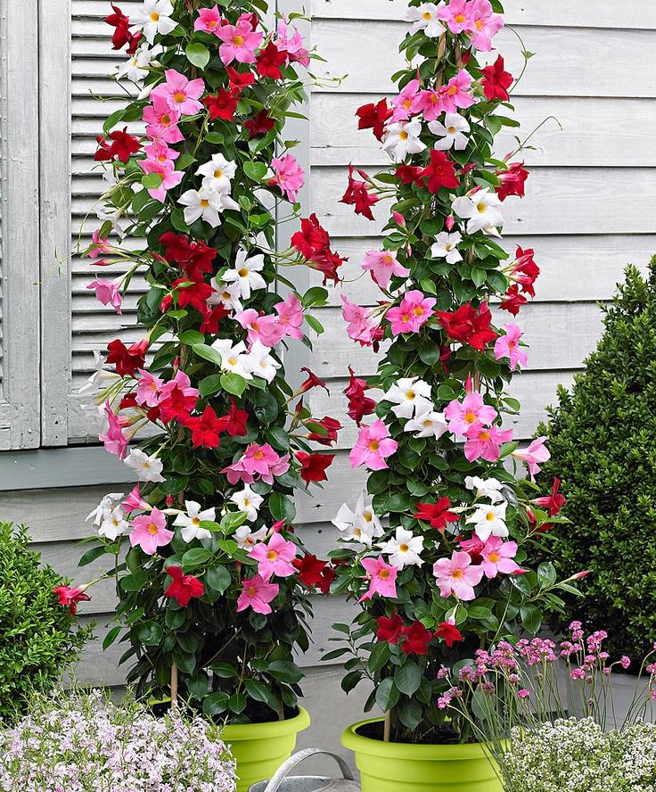 Chilean Jasmine | Plants from Spalding Bulb