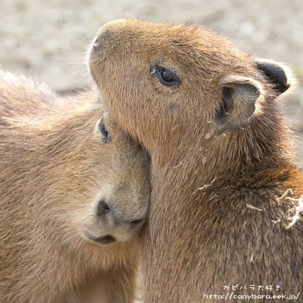 17 Best images about The Majestic Capybara :) on Pinterest ...