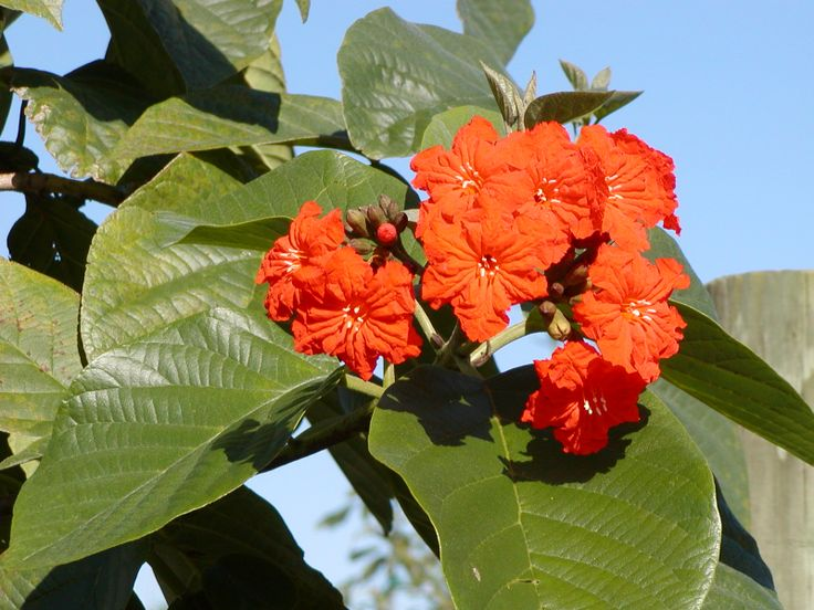 Cordia sebestena 'Orange Geiger' bloom