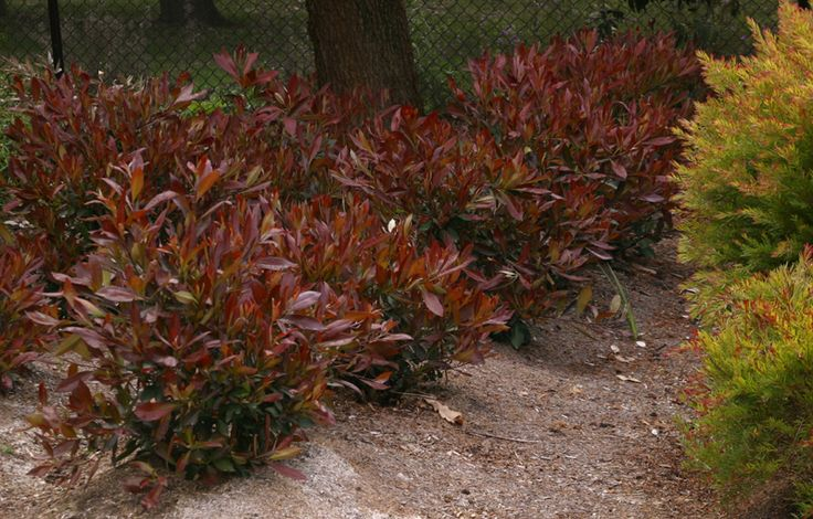 17 best images about low maintenance shrubs on pinterest for Low maintenance plants shrubs