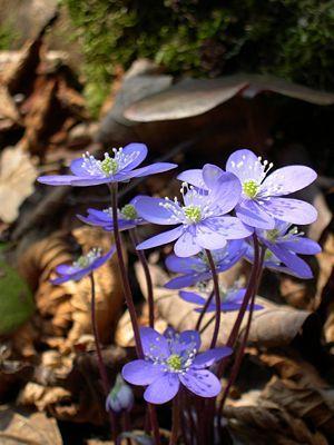 Leberblümchen (Hepatica nobilis) - Achtung: Da die Pflanze selten geworden ist, steht sie unter Naturschutz und darf nicht mehr in der Natur gesammelt werden.