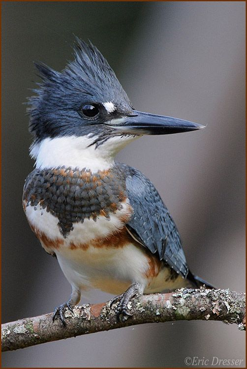 Belted Kingfisher (female) I have been looking for one of these for quite some time. I don't really travel to find birds, so I was so excited to see one at the lake near my house. Audubon Lake NJ