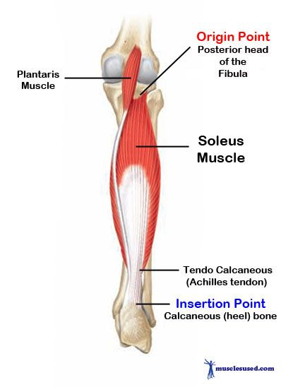 Gastrocnemius Muscle Origin And Insertion Soleus Muscle1 Gastroc...