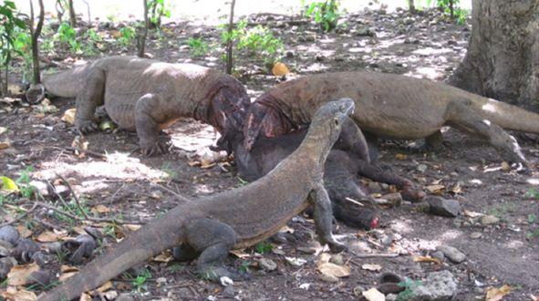 Dragon feeding - Komodo dragon - Wikipedia, the free encyclopedia