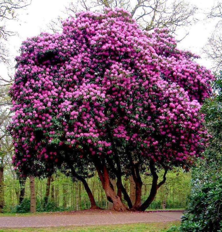 319 best images about shrubs bushes small trees on for Small bushy trees