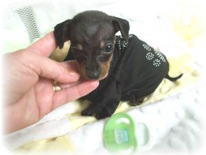 Tiniest Teacup Dachshund | Dachshund Puppies For Sale: ~~XXX Tiny Teacup Mini Dachshunds ~~~