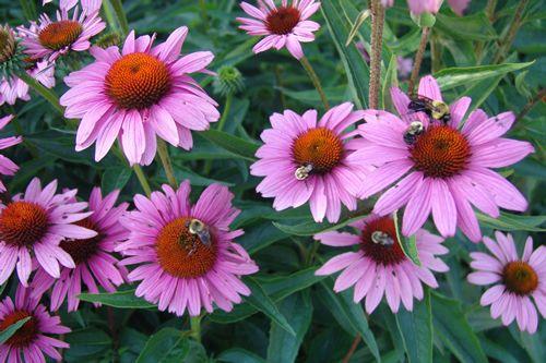La echinacea purpurea4
