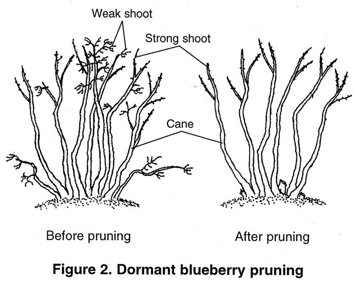 Illustration showing Figure 2. Dormant blueberry pruning, before and after. Weak shoots. strong shoots, and canes are identified. Weak shoots are removed in the