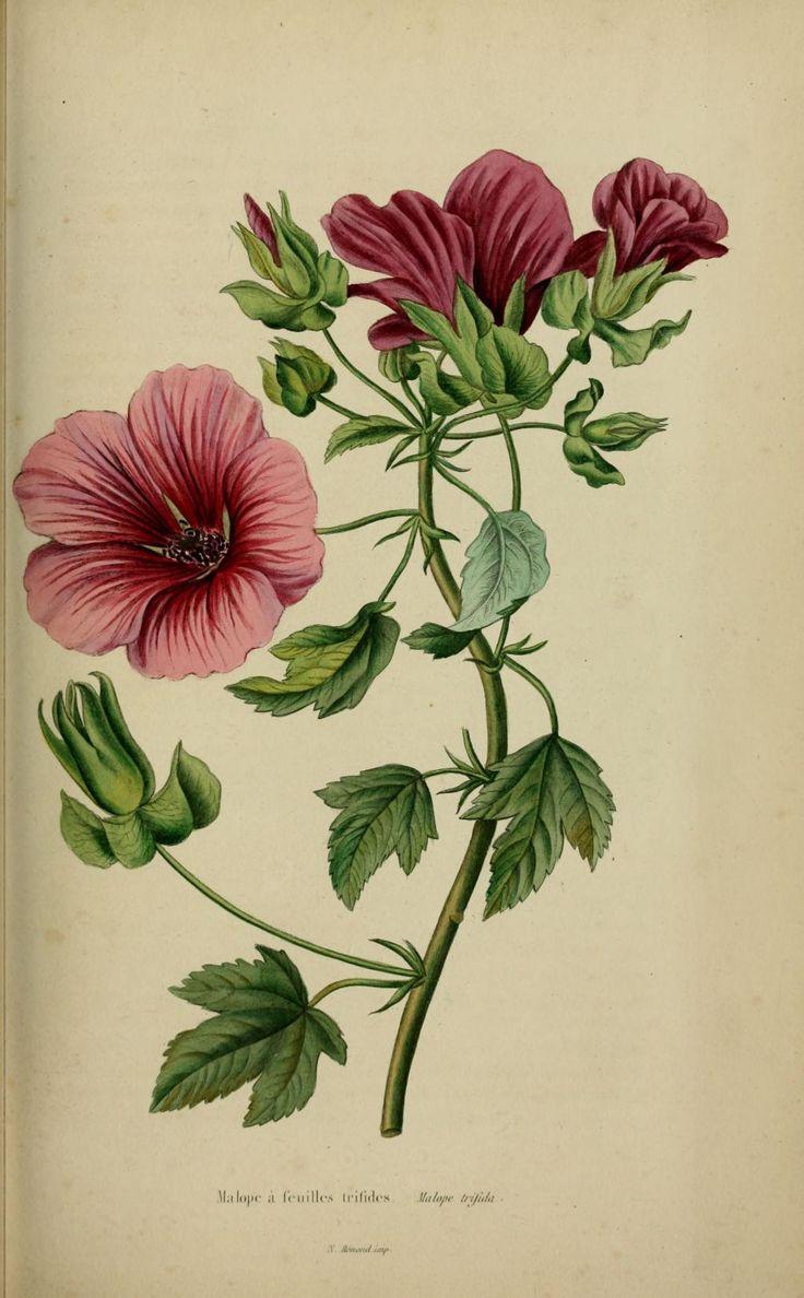 Malope a feuilles trifides , malope trifida, gravure